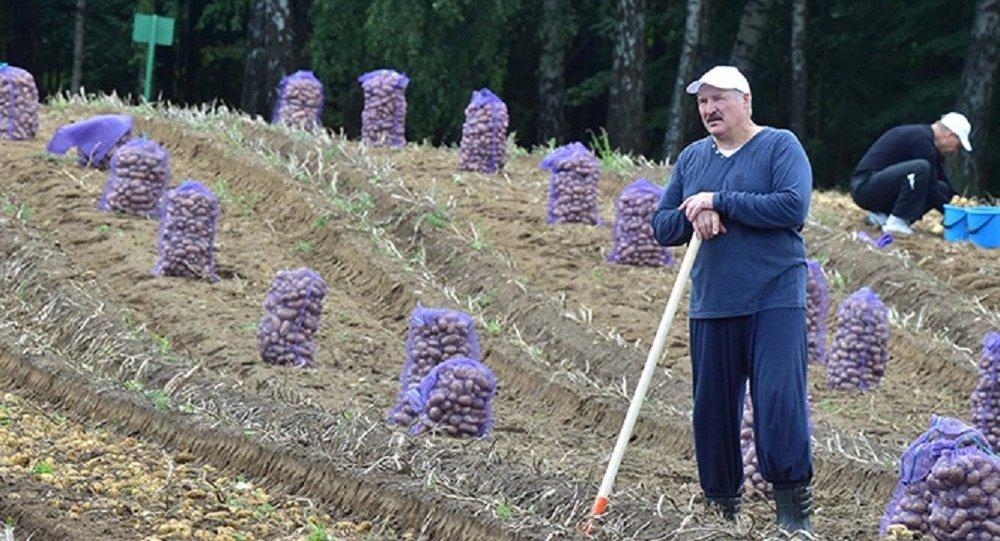 Президент Беларуси Александр Лукашенко на уборке урожая картофеля